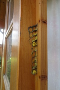 Leider durchs Türöffnen zerstörtes Gelege der Gehörnten Mauerbiene