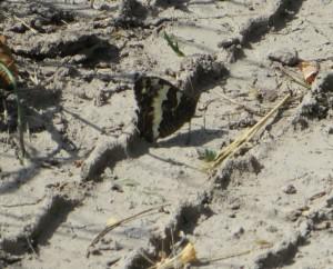 Schmetterling der Weisse Waldportier ( selten )